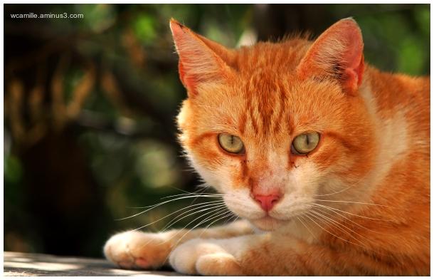 Malta cat