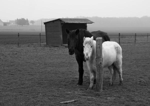 Copain comme chevaux