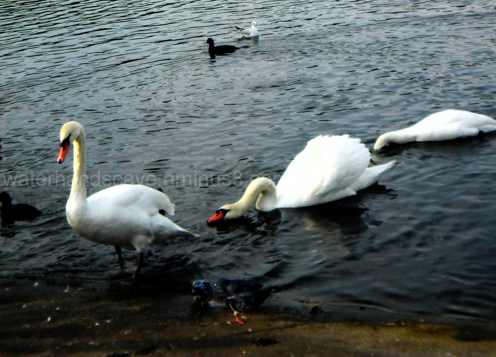 Three not so little swans