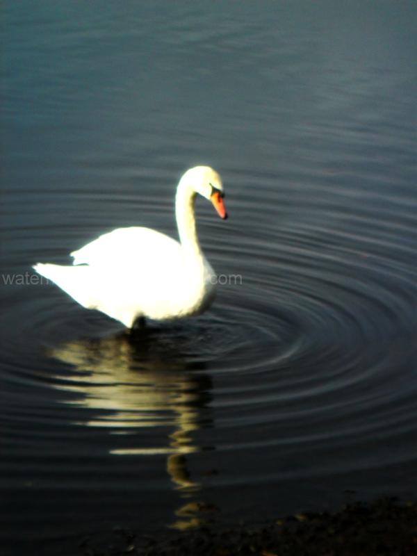 Swan on a mirror