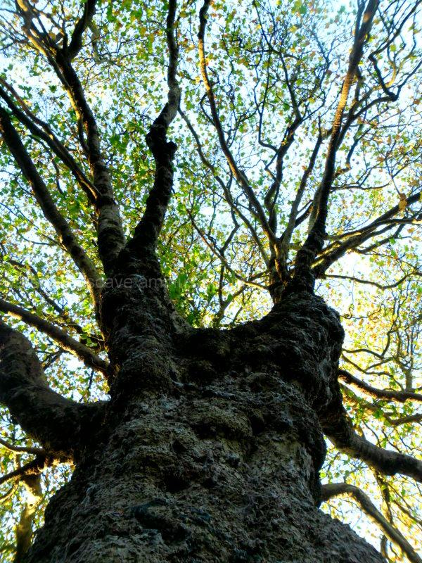 Imposing trees XIII