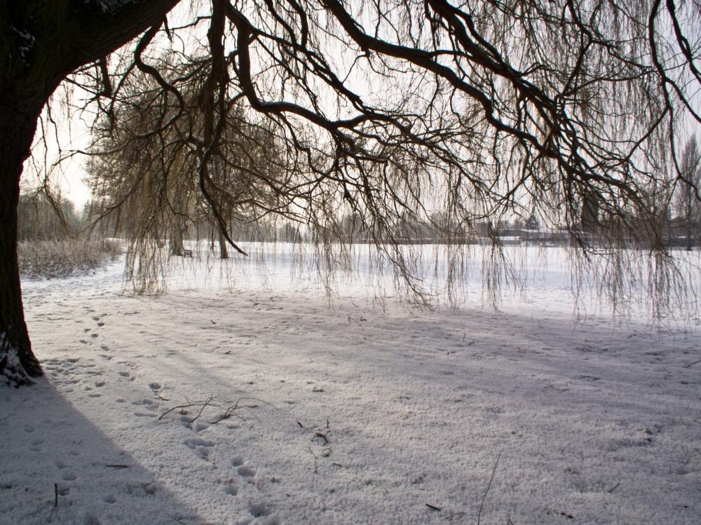 snow willows