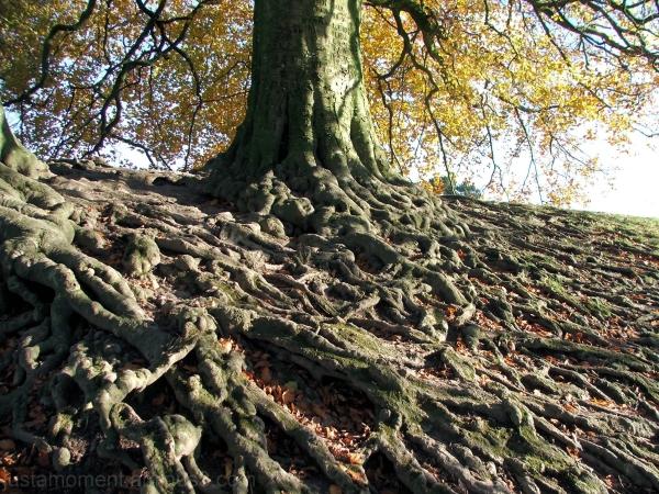 avebury tree roots
