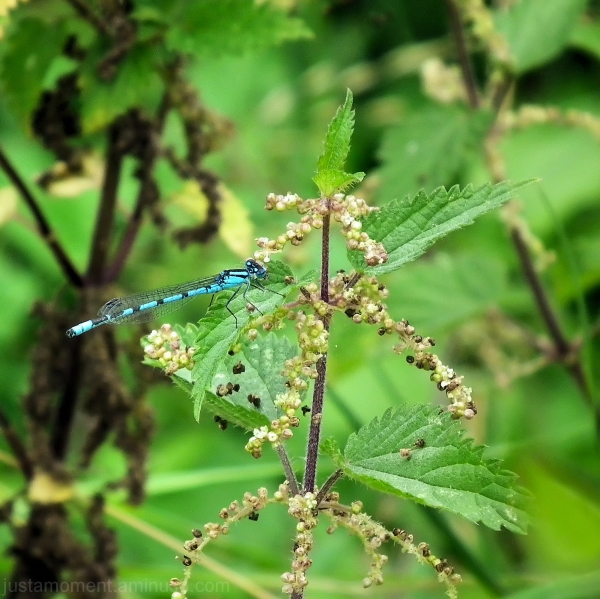 Blue Dragonfly.