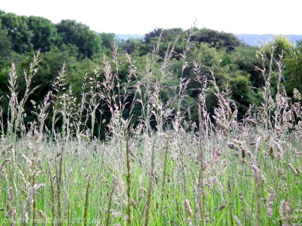 Tall Grass.