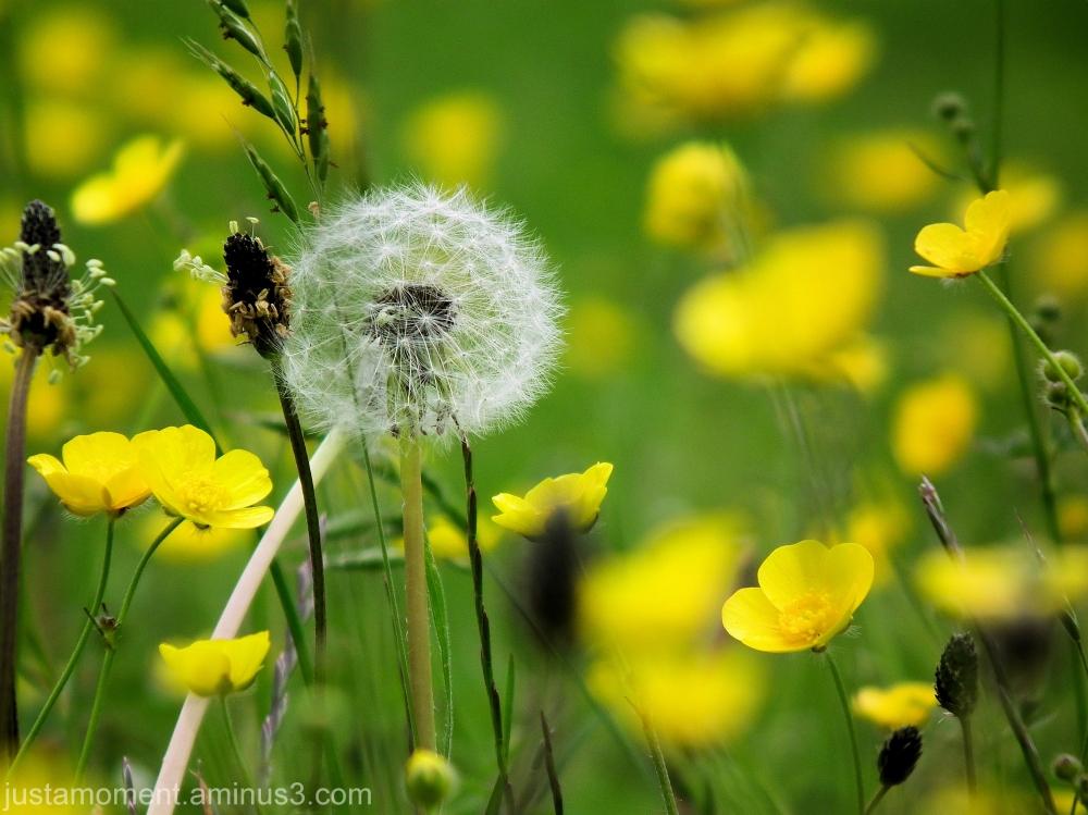 flowers buttercup grass yellow green dandelion