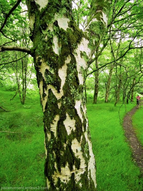 Birch Tree.
