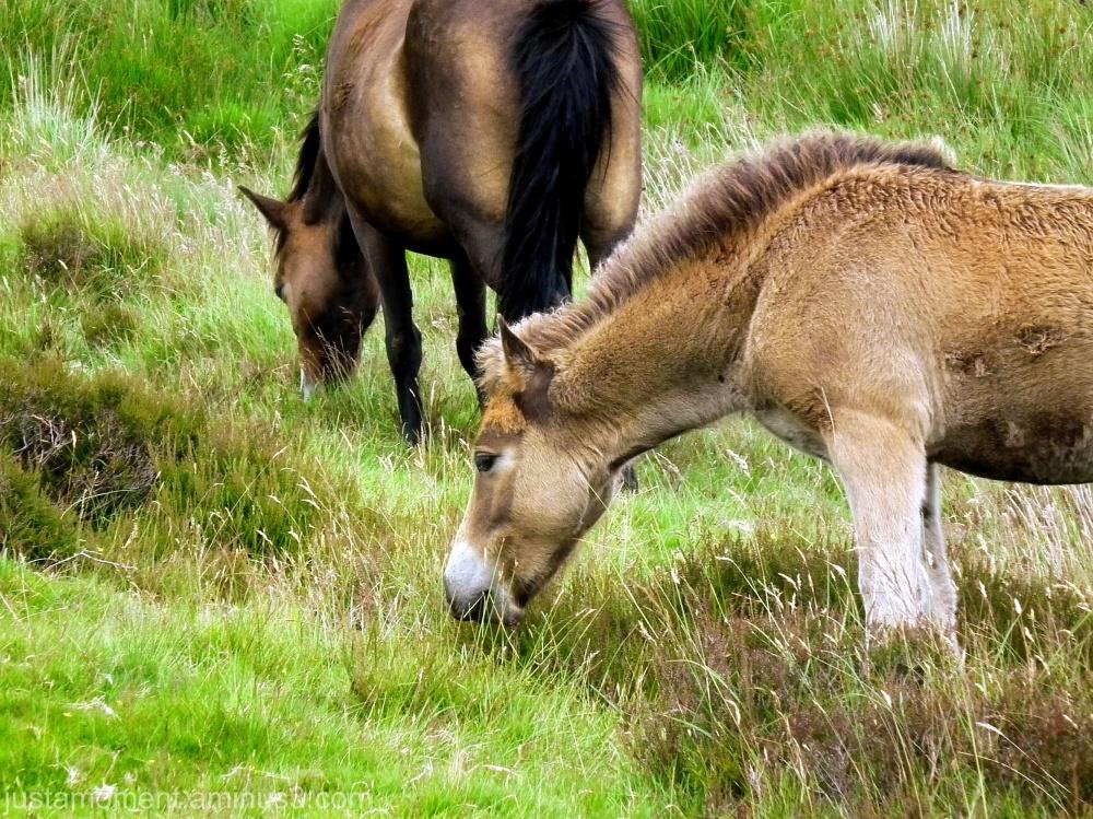 Exmoor Pony.