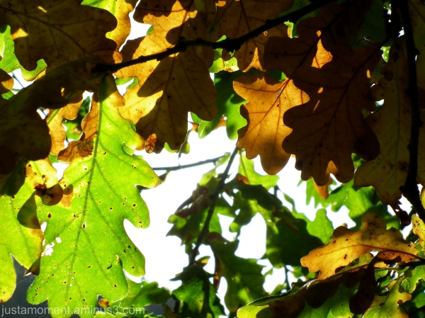 Oak leaves.