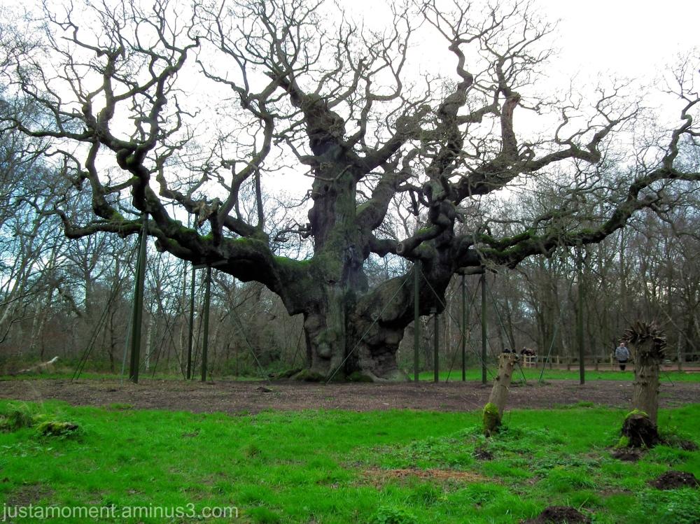 The Major Oak.