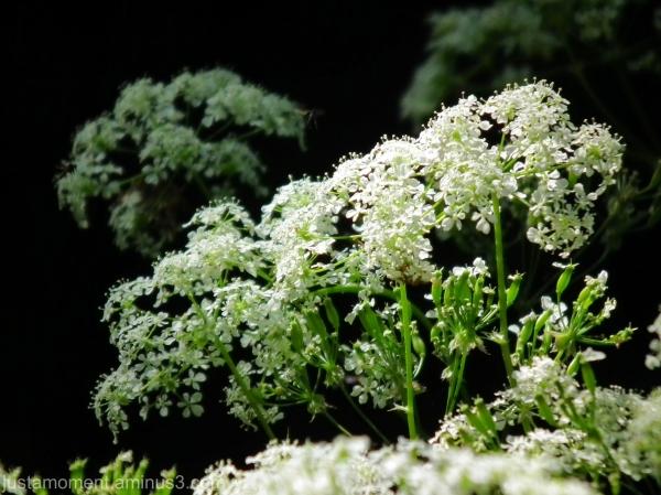 Hedge Parsley.