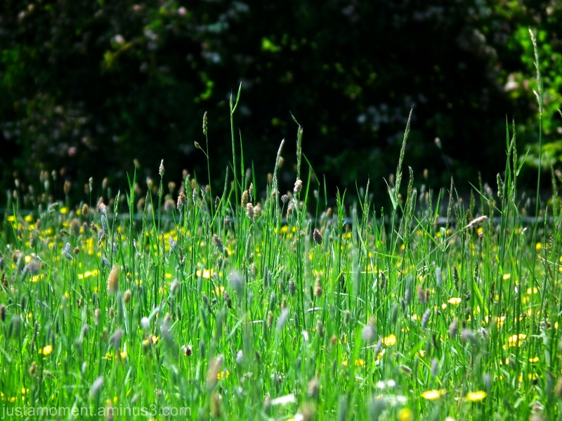 Meadow Grass.