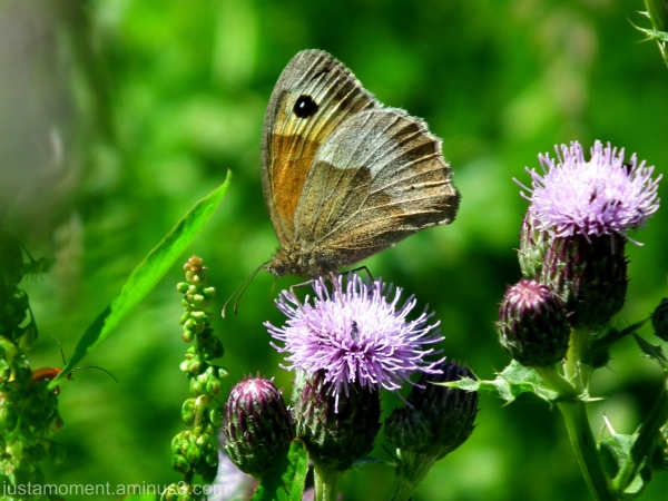 Meadow Brown or Gatekeeper Butterfly.