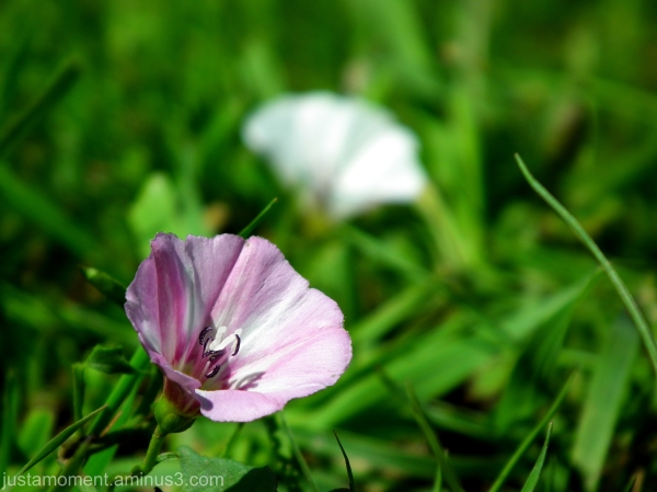 Field Bindweed.