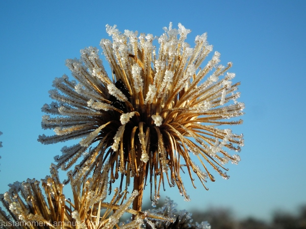 Frozen Burdock.