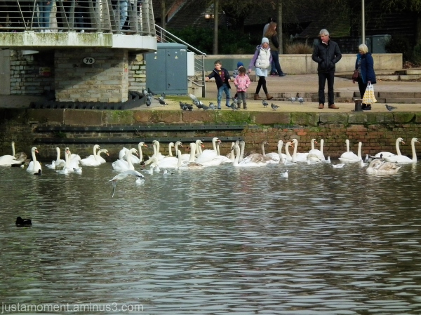 What a lot of swans.