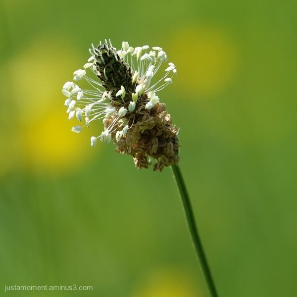 Herb Plantain.