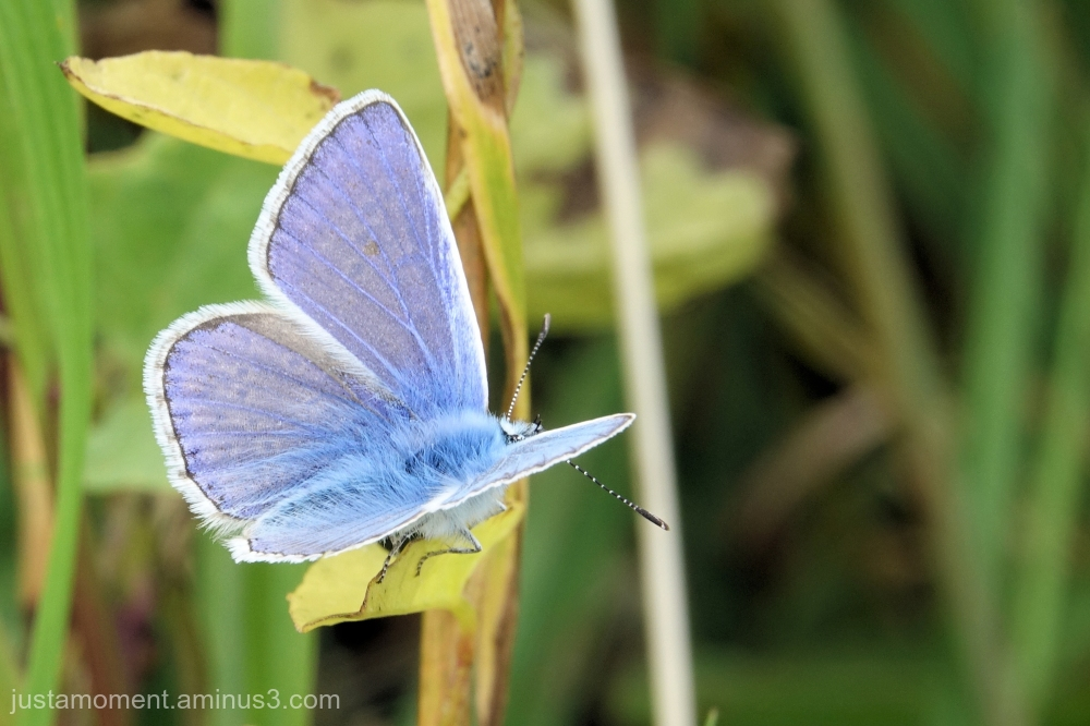 Common Blue.
