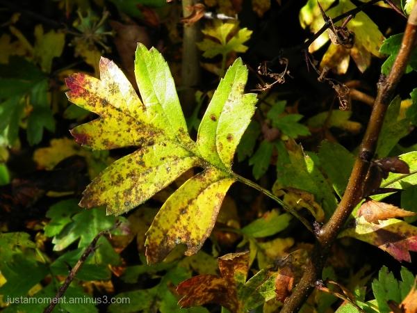 Hawthorn leaf.