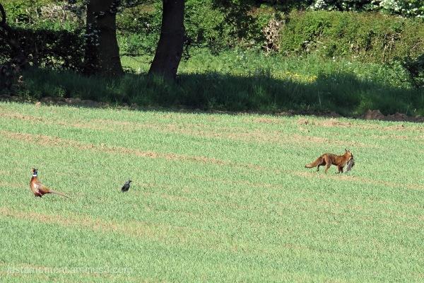 Fox caught his dinner.