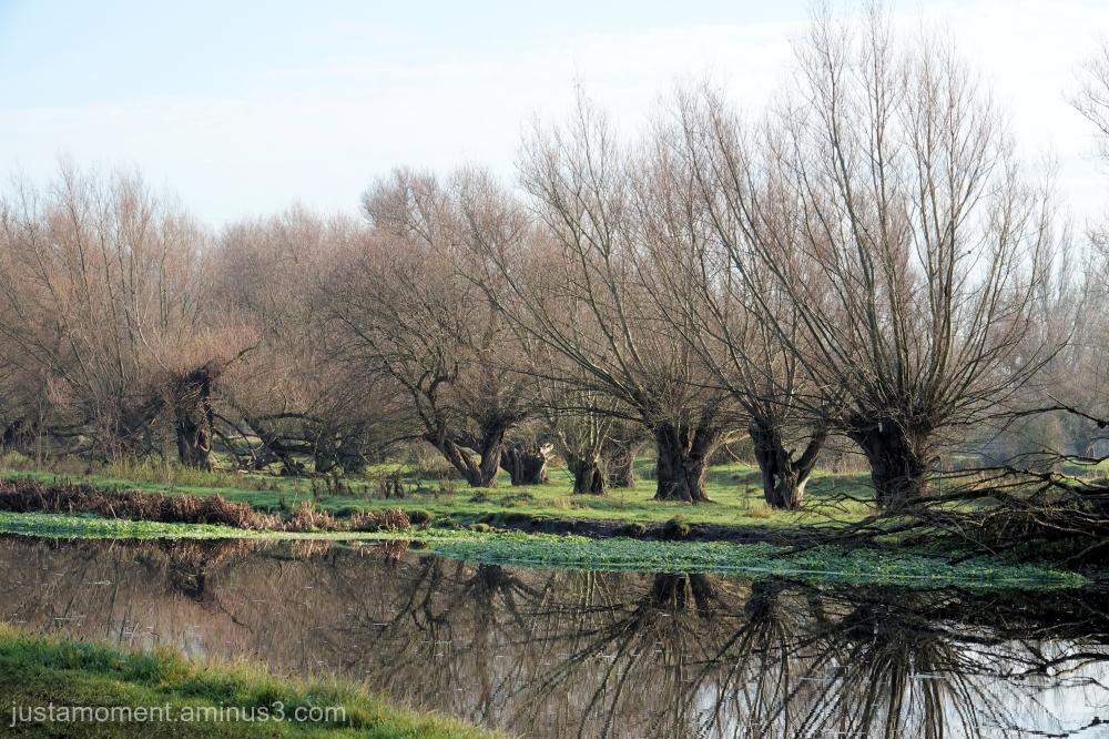 Pollarded trees.