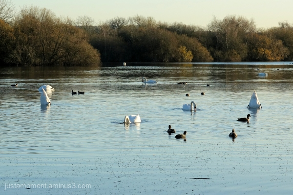 Synchronised Swans.