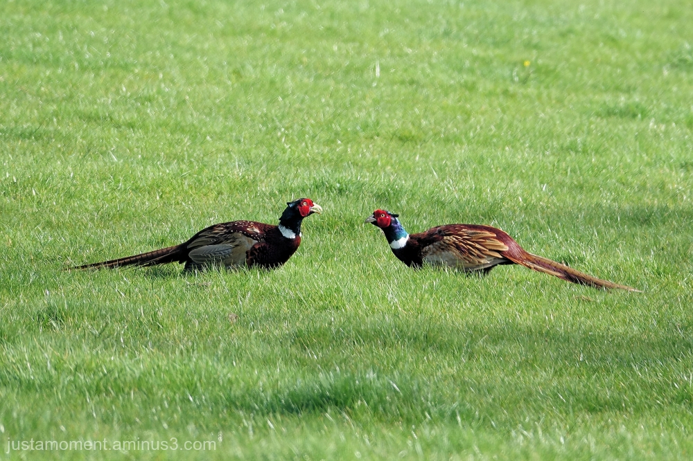 Pheasant stand off