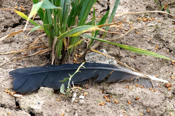 Crow lost a feather.