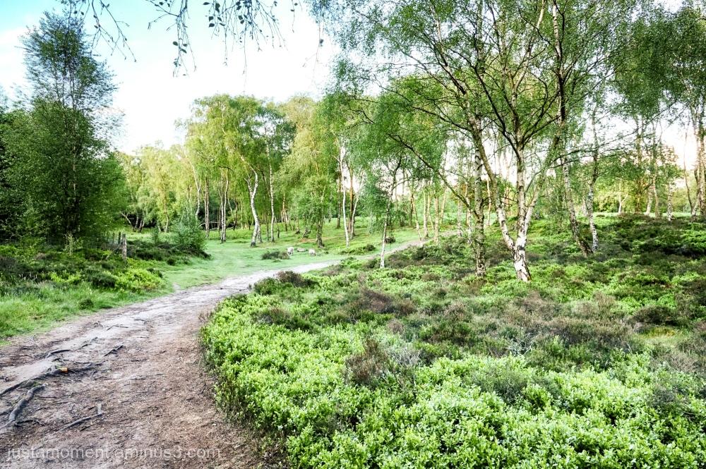 Birch trees on the Moor.
