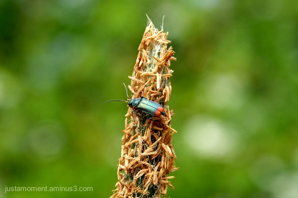 Metallic looking bug