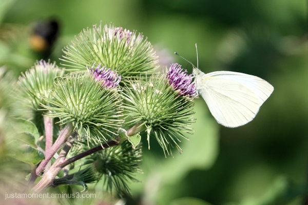 White Butterfly.