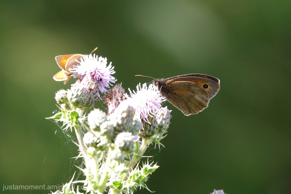Common Brown.