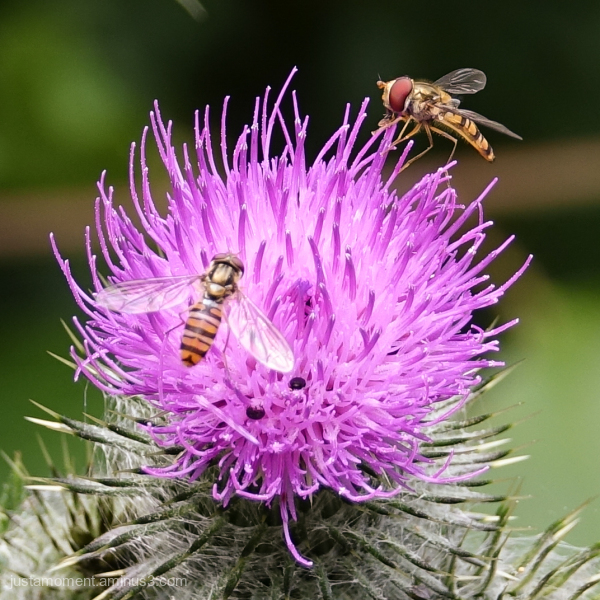 The colourful world of the hover fly.