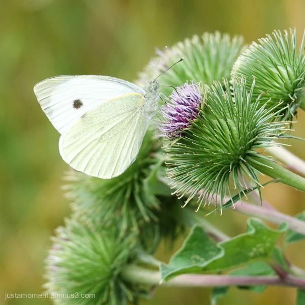 Common White.