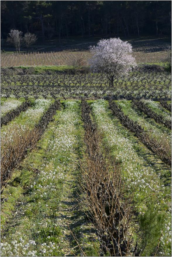 Le printemps dans les vignes