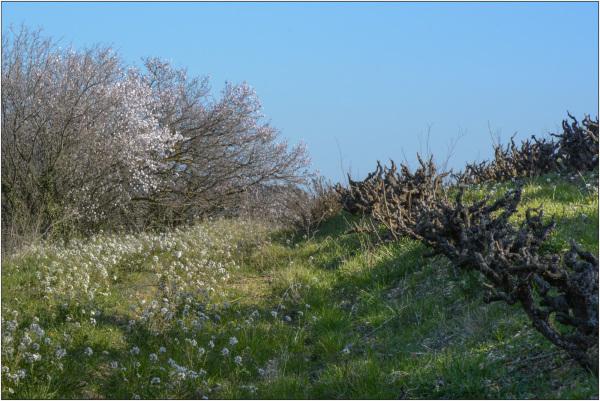 Le printemps dans les vignes 2