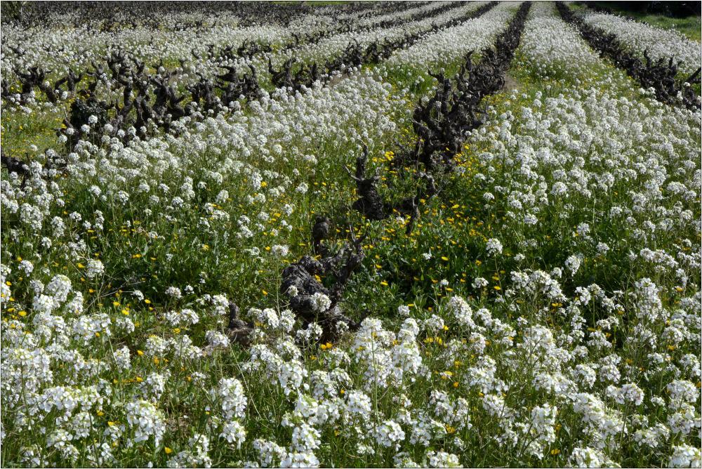 Le printemps dans les vignes 3