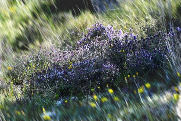 Floraison Provençale