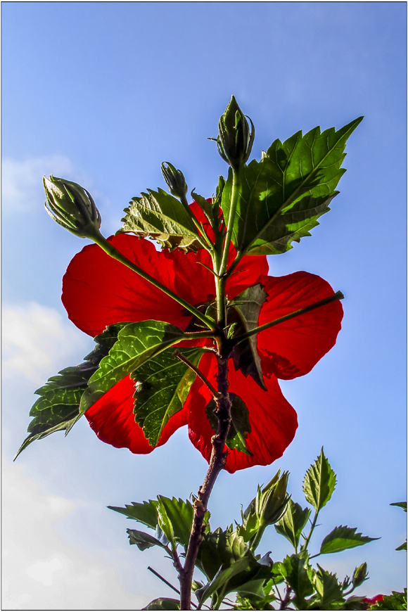 L'hibiscus qui se prenait pour un moulin à vent
