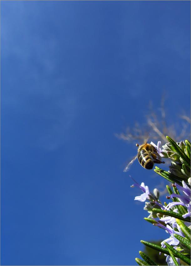 Romarin sous le ciel bleu