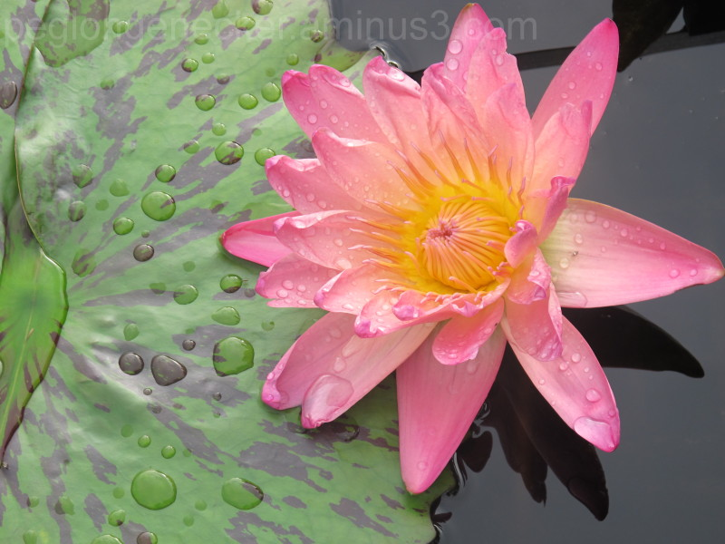 Pink Water Lily after rain