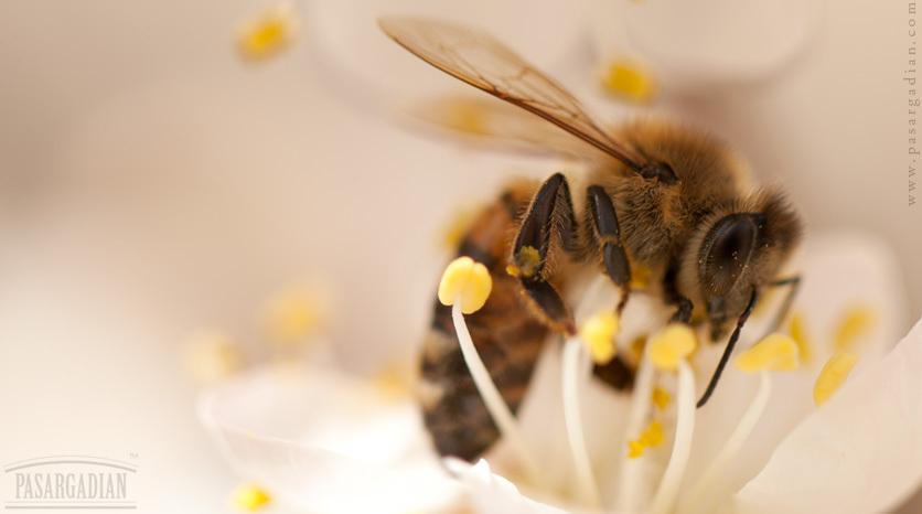 Bee by Aidin Ameri