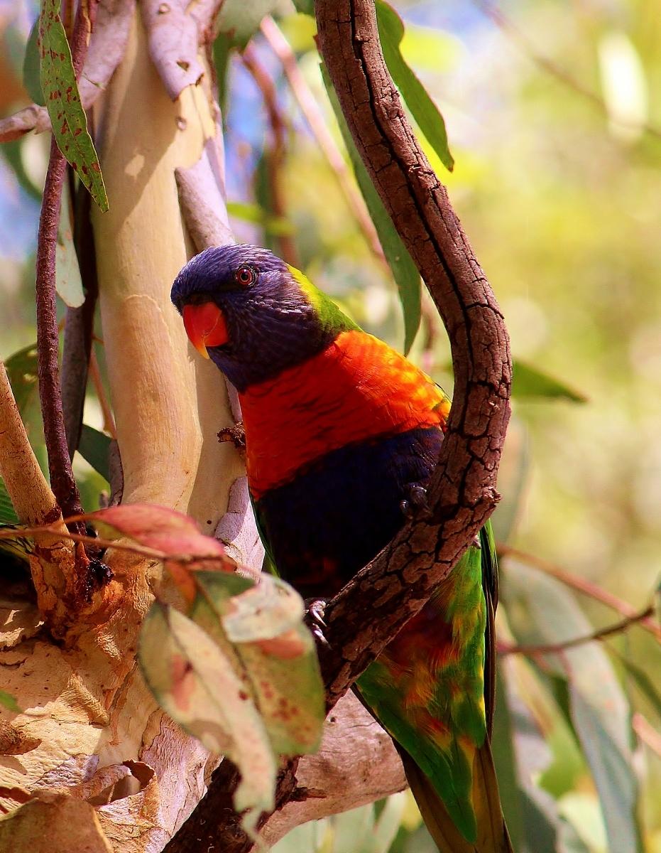 Rainbow Lorikeet, (Trichoglossus)