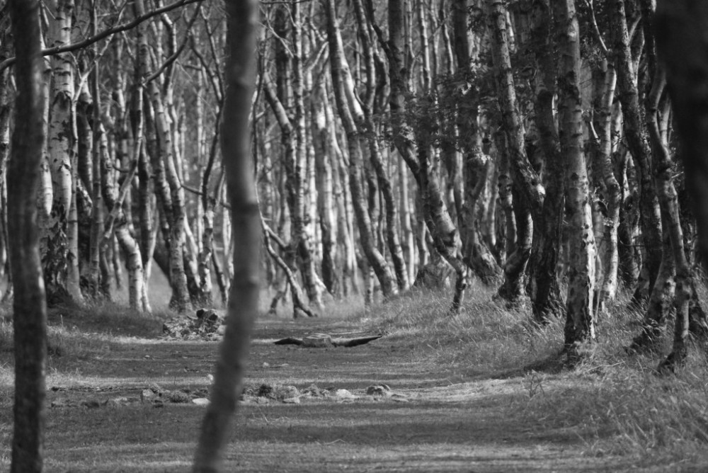 silver birch trees2