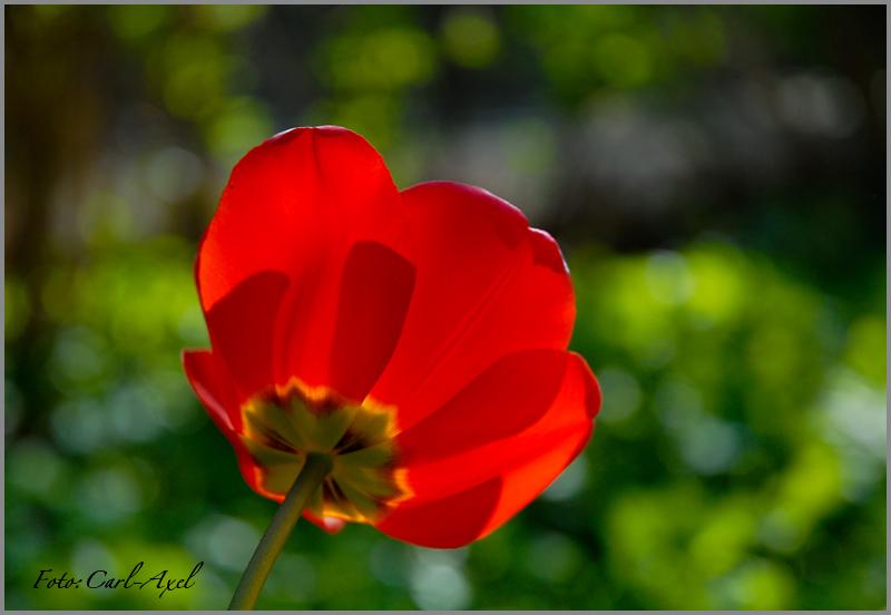 tulip and sun