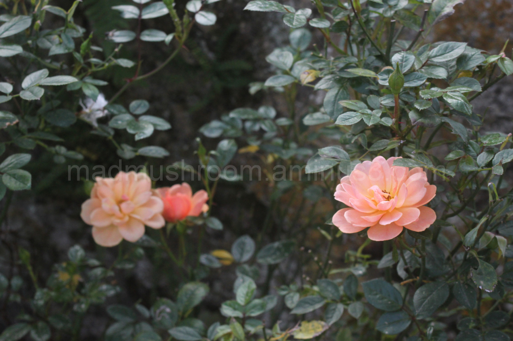 Roses, garden, pink rose