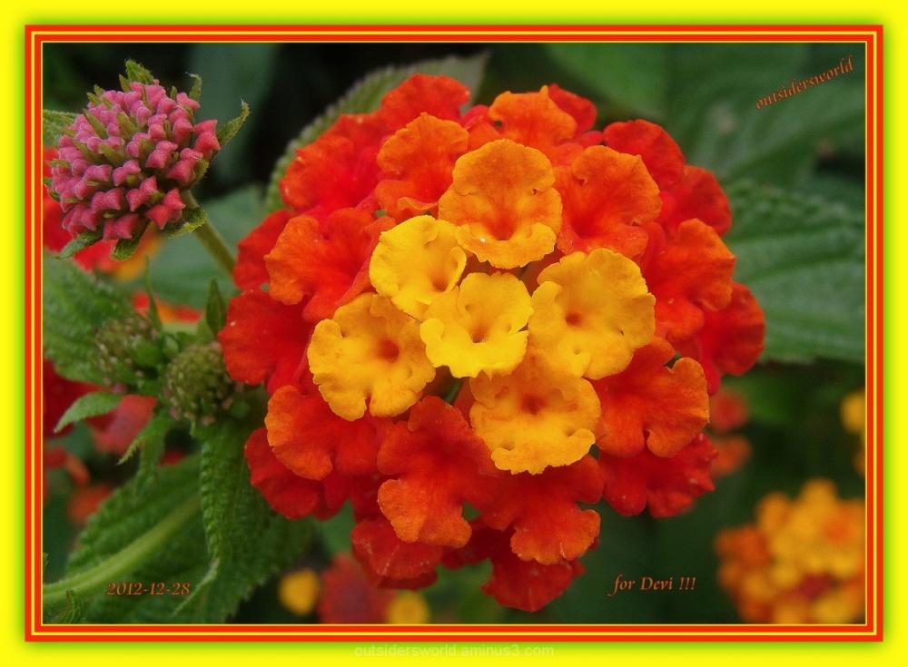 For Devi..........Lantana Camara....