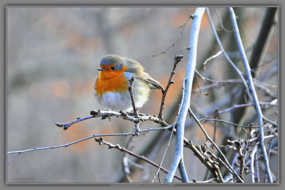 Robin... for Don … !!! Happy Sunday … !!!