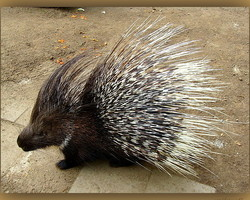 Porcupine ... be used with caution !!!