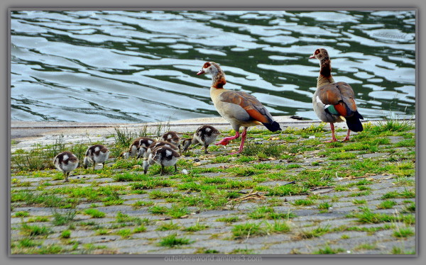 Family Egyption goose feels good ... !!!